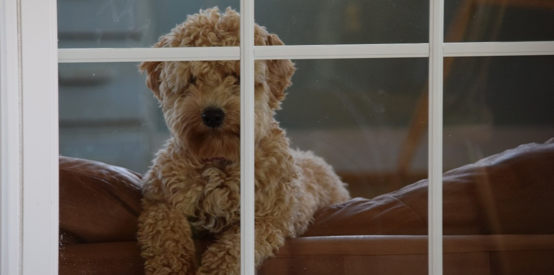 labradoodle in window
