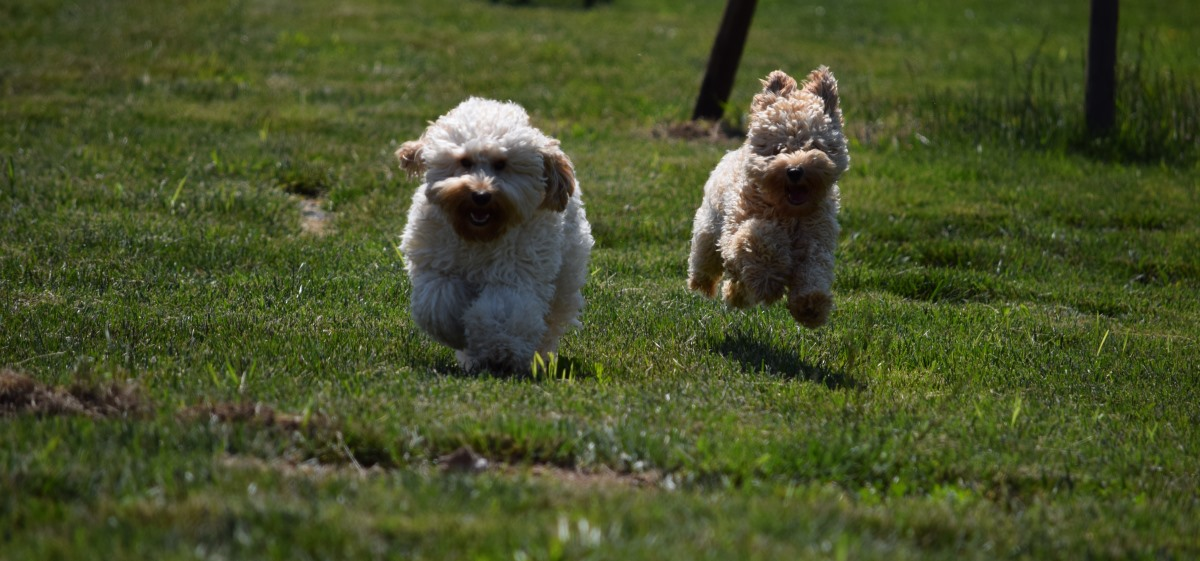 labradoodles running in yard