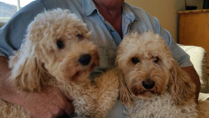 Tom holding two of his Australian Labradoodles