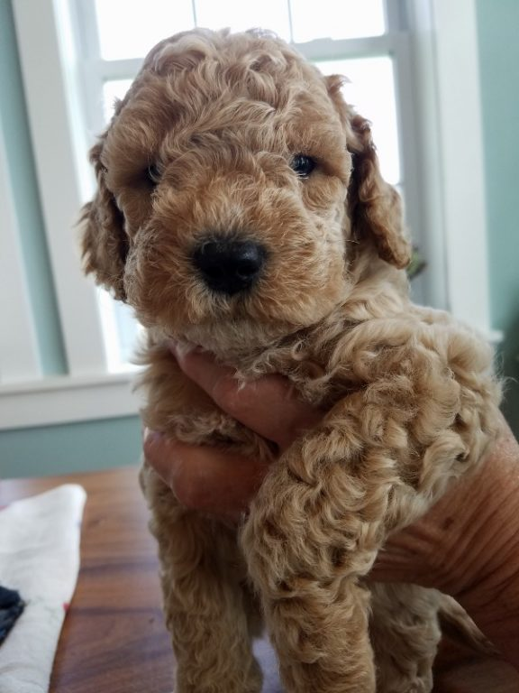 Finn's light colored labradoodle puppy