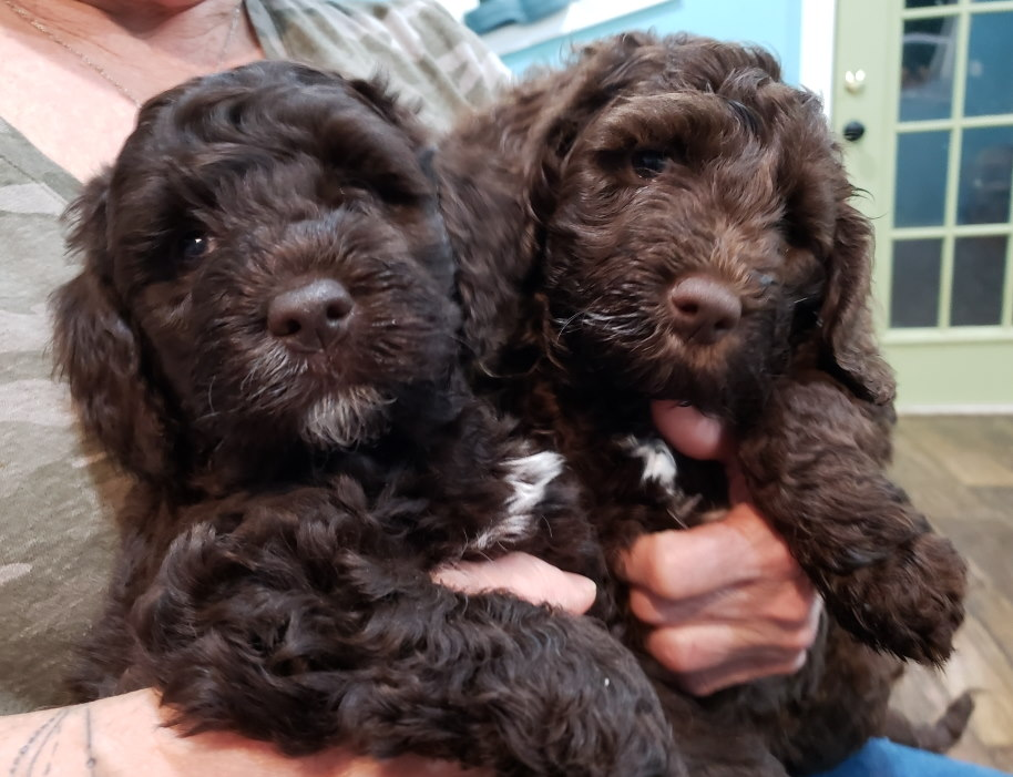 labradoodle puppies just born